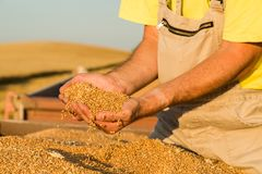 Free Farmer Inspecting Freshly Harvested Wheat Grains Stock Photo - 118987460