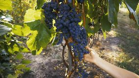 Farmer Inspecting His Ripe Wine Grapes Ready For Harvest. Eco farming stock video footage