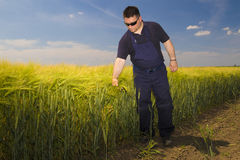 Farmer Inspecting  mature grain on the field Royalty Free Stock Images