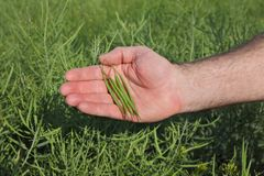 Farmer inspecting rapeseed crop in field Stock Photo