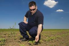 Farmer Inspecting sunflower field Stock Image