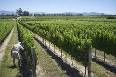 Farmer inspecting the vines South Africa Stock Image