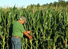 Farmer inspects the corn crop Stock Images