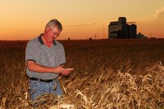 Farmer inspects durum wheat. A farmer inspects a durum wheat crop at sunset, grain elevator in the background. NOTE: wild oats appear in foreground of photo Stock Photography