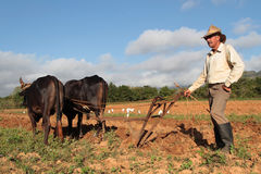 Farmer and its cows Stock Images