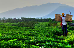 Farmer in Java Royalty Free Stock Photography