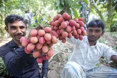 Farmer keeping fresh lychees and bunding up to sell in local market at ranisonkoil, thakurgoan, Bangladesh. The Lychee is a fresh small fruit having whitish royalty free stock photo