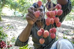 Farmer keeping fresh lychees and bunding up to sell in local market at ranisonkoil, thakurgoan, Bangladesh. The Lychee is a fresh small fruit having whitish stock photos