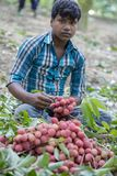 Farmer keeping fresh lychees fruits, locally called Lichu at ranisonkoil, thakurgoan, Bangladesh. The Lychee is a fresh small fruit having whitish pulp with stock image