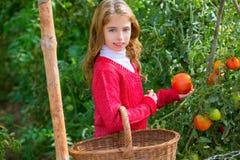 Farmer kid girl harvesting tomatoes Royalty Free Stock Photos