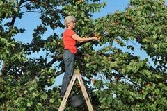 Farmer at ladder picking apricot fruit Stock Image