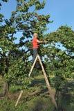 Farmer at ladder picking apricot fruit Stock Photo