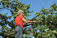 Farmer at ladder picking apricot fruit Royalty Free Stock Image