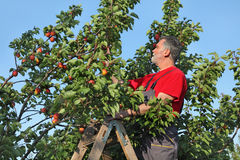Farmer at ladder picking apricot fruit Stock Photos