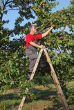 Farmer at ladder picking apricot fruit Royalty Free Stock Photos
