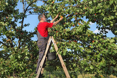 Farmer at ladder picking apricot fruit Stock Image