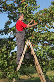 Farmer at ladder picking apricot Royalty Free Stock Images