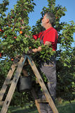 Farmer at ladder picking apricot Stock Photography