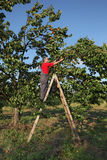 Farmer at ladder picking apricot Royalty Free Stock Photography