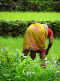 Farmer Lady. A lady farmer working in the paddy fields of India Royalty Free Stock Photo