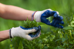 Farmer lady picking nettles Stock Photography