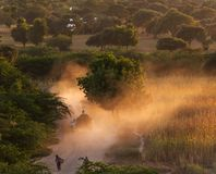 Farmer leading cowherd to her village at sunset, Bagan, Myanmar stock photo