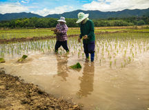 Farmer Life. Farmers are planting rice In Ban-Hong , Lamphun, Thailand Stock Photo