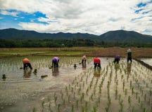 Farmer Life. Farmers are planting rice In Ban-Hong , Lamphun, Thailand Royalty Free Stock Photos