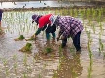 Farmer Life. Farmers are planting rice In Ban-Hong , Lamphun, Thailand Royalty Free Stock Images