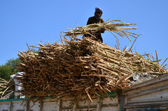Farmer Loading Truck With Sugarcane! Stock Image