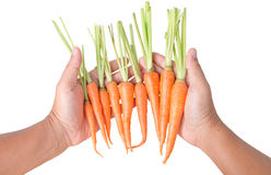 Farmer looking different size carrots on hand isolated. Farmer looking different size carrots on hand Royalty Free Stock Image