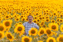Farmer looking at sunflower royalty free stock image
