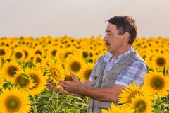 Farmer looking at sunflower Stock Photos