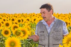 Farmer looking at sunflower Royalty Free Stock Photography