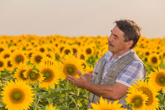 Farmer looking at sunflower Royalty Free Stock Photo