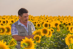 Farmer looking at sunflower Royalty Free Stock Images