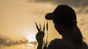 Farmer looks at the ears of wheat, rear view royalty free stock image