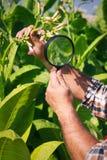 Farmer looks tobacco Royalty Free Stock Photos