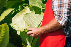 Farmer looks tobacco Stock Photo