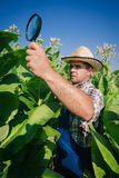 Farmer looks tobacco in the field Royalty Free Stock Photography