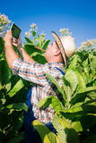 Farmer looks tobacco in the field Royalty Free Stock Image
