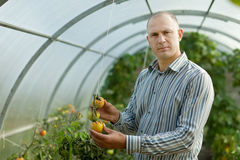 Farmer looks tomatos plant Royalty Free Stock Image