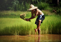 Farmer. Man farmer Agriculture saplingrice Growing rice Rice fields Asia stock image