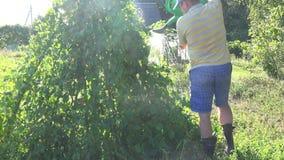 Farmer man boy in shorts watering beans legume plants in garden with green watering-can. 4K. Farmer man in shorts and hat watering beans legume plants in garden stock video footage