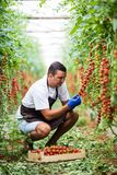 Young man farmer worker picking cherry tomatoes with scissors harvest in wooden boxes in the greenhouse. Family business. Agricult. Farmer man collects cherry royalty free stock photos