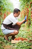 Young man farmer worker collects cherry tomatoes with scissors harvest in wooden boxes in the greenhouse. Family business. Agricul. Farmer man collects cherry stock photography