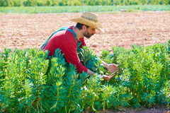 Farmer man harvesting lima beans in orchard Stock Photography