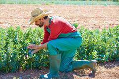 Farmer man harvesting lima beans in orchard Royalty Free Stock Images