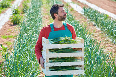 Farmer man harvesting onions in Mediterranean Stock Photography