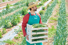 Farmer man harvesting onions in Mediterranean Royalty Free Stock Photos